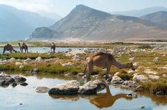 Wielbłądy na plaży, Oman Obraz Royalty Free