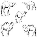 wielbłądy nakreślenie ręką tła rysunku ołówka drzewny biel Zdjęcie Royalty Free
