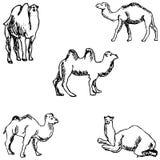 wielbłądy nakreślenie ręką tła rysunku ołówka drzewny biel Zdjęcia Royalty Free