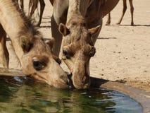 Wielbłądy pije przy podlewanie stacją w saudyjczyku - arabska pustynia Obrazy Royalty Free