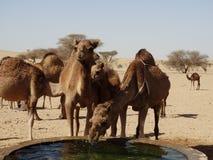 Wielbłądy pije przy podlewanie stacją w saudyjczyku - arabska pustynia Zdjęcia Royalty Free