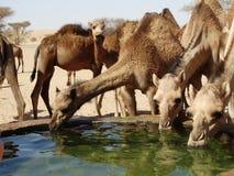 Wielbłądy pije przy podlewanie stacją w saudyjczyku - arabska pustynia Obraz Royalty Free
