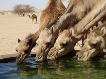 Wielbłądy pije przy podlewanie stacją w saudyjczyku - arabska pustynia Zdjęcie Stock