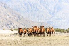 Wielbłądy przy Nubra doliną Obrazy Stock