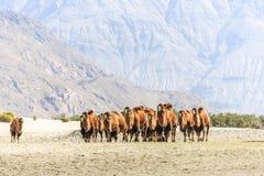 Wielbłądy przy Nubra doliną Zdjęcia Royalty Free