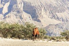 Wielbłądy przy Nubra doliną Zdjęcia Stock