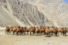 Wielbłądy przy Nubra doliną Fotografia Stock