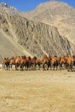 Wielbłądy przy Nubra doliną Obrazy Royalty Free