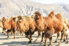 Wielbłądy przy Nubra doliną Zdjęcie Royalty Free
