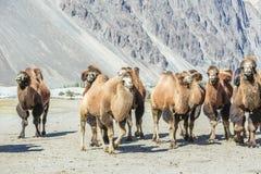 Wielbłądy przy Nubra doliną Fotografia Royalty Free