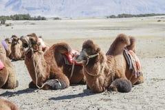 Wielbłądy przy Nubra doliną Zdjęcie Stock