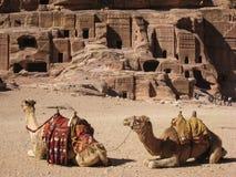 Wielbłądy przy Petra. Jordania obraz royalty free