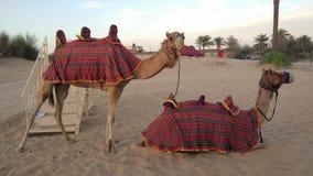 Wielbłądy w Dubai& x27; s pustynia Obrazy Stock