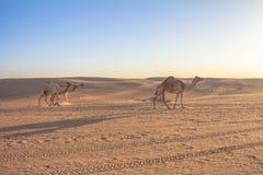 Wielbłądy w Dubaj UEA zdjęcie royalty free