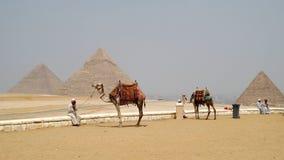 Wielbłądy w frontowych ostrosłupach Egipt Obrazy Royalty Free
