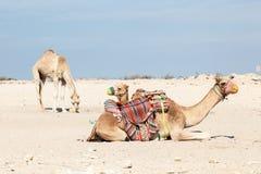 Wielbłądy w Katar Zdjęcia Royalty Free