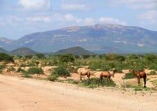 Wielbłądy w Kenja, Afryka. Góra krajobraz. Rośliny ar i drzewa Fotografia Stock