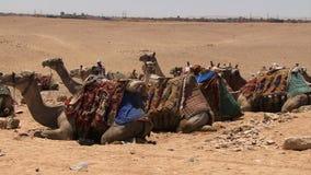 Wielbłądy w linii na pustyni zbiory