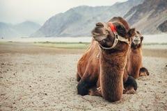 Wielbłądy w Nubra dolinie Zdjęcia Royalty Free