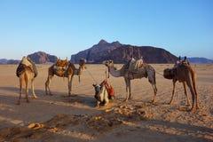 Wielbłądy w pustyni Zdjęcia Stock