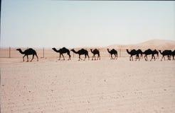 Wielbłądy w UAE Zdjęcia Royalty Free