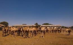Wielbłądy w wielbłądzie wprowadzać na rynek w Hargeisa, Somalia Fotografia Stock