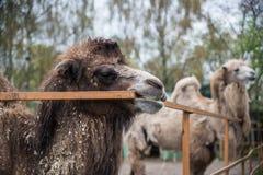 Wielbłądy w zoo Zdjęcia Royalty Free