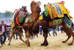Wielbłądy walczą przy wretling festiwalem, Selcuk, Izmir, Turcja zdjęcia royalty free