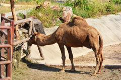 Wielbłądzi łasowanie zdjęcie royalty free