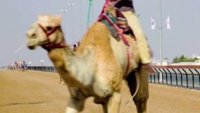 Wielbłądzi ścigać się w Dubaj zbiory wideo