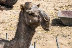 Wielbłądzi śmieszny słodki patrzeje uśmiechnięty inside kamery Oman salalah język arabski Obraz Royalty Free