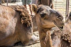 Wielbłądzi śmieszny słodki patrzeje uśmiechnięty inside kamery Oman salalah język arabski 4 Obraz Stock