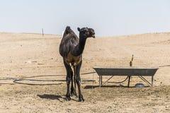 Wielbłądzi śmieszny słodki patrzeje uśmiechnięty inside kamery Oman salalah język arabski 6 Obraz Royalty Free