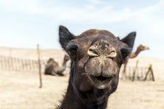 Wielbłądzi śmieszny słodki patrzeje uśmiechnięty inside kamery Oman salalah język arabski 8 Obraz Royalty Free