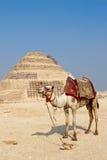 wielbłądzi djoser ostrosłupa Saqqara krok Obrazy Stock