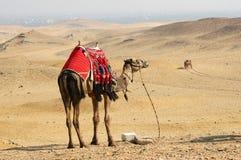 wielbłądzi Egypt Zdjęcia Stock