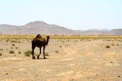 wielbłądzi Morocco Sahara Zdjęcie Royalty Free