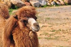 wielbłądzi obsiadanie Fotografia Royalty Free