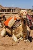 Wielbłądzi obsiadanie w Egiptian oazie Fotografia Royalty Free