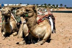 Wielbłądzi obsiadanie w Egiptian oazie Zdjęcia Royalty Free