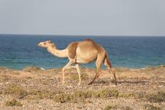 Wielbłądzi odprowadzenie wzdłuż dennego kosztu Socotra wyspa Obraz Stock