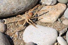 Wielbłądzi pająk lub Solfugid fotografia stock