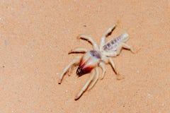 Wielbłądzi pająk w UAE pustyni zdjęcie royalty free