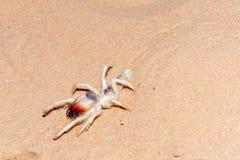 Wielbłądzi pająk w UAE pustyni zdjęcia royalty free