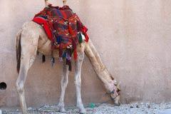 Wielbłądzi pobliski Petra obrazy royalty free