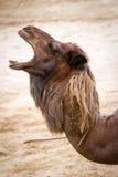 Wielbłądzi portret Obraz Stock