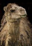 Wielbłądzi portret Obraz Royalty Free