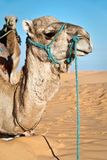 Wielbłądzi portret w piasek diun pustyni Sahara Zdjęcie Royalty Free