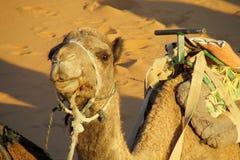 Wielbłądzi przygotowywający przejażdżka w pustyni Zdjęcie Royalty Free