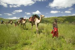 Wielbłądzi safari z Masai wojownikami prowadzi wielbłądy przez zielonych obszarów trawiastych Lewa przyrody Conservancy, Północny Zdjęcia Stock